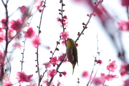 2019.02.07 和泉川 紅梅にメジロ 雨あがり