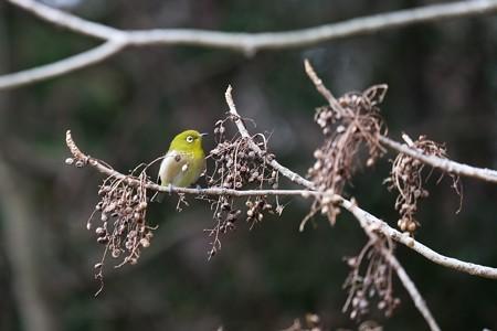 2019.02.14 和泉川 櫨の木にメジロ