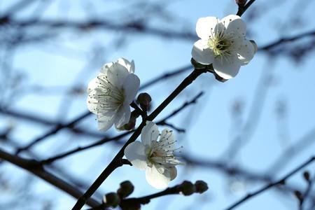 2019.02.18 和泉川 ウメ