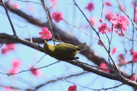 2019.02.18 和泉川 紅梅にメジロ