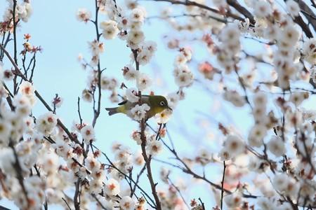 2019.02.18 和泉川 梅でメジロ 花から花