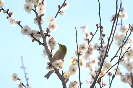2019.02.18 和泉川 梅にメジロ