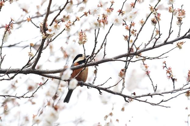 2019.02.21 和泉川 梅へヤマガラ