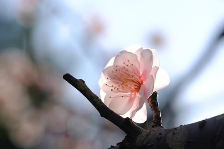 2019.02.24 大池公園 ウメ ピンク