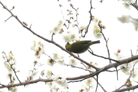 2019.02.26 和泉川 メジロ