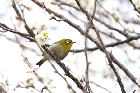 2019.02.26 和泉川 梅へメジロ