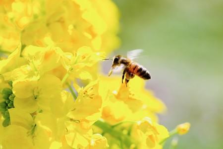 2019.03.02 追分市民の森 菜の花へミツバチ