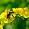 2019.03.15 追分市民の森 菜の花でミツバチ