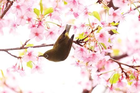 2019.03.16 和泉川 メジロ