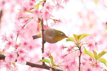 2019.03.16 和泉川 河津桜でメジロ 吸蜜