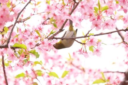2019.03.16 和泉川 河津桜にメジロ 吸蜜