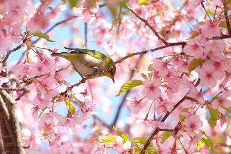 2019.03.17 追分市民の森 河津桜でメジロ