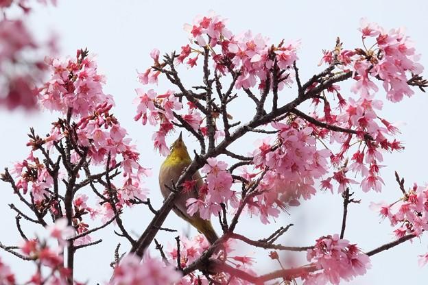 2019.03.19 和泉川 傍目桜にメジロ