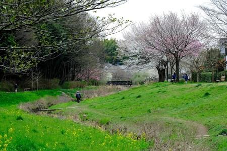 2019.03.28 和泉川 染井吉野開花