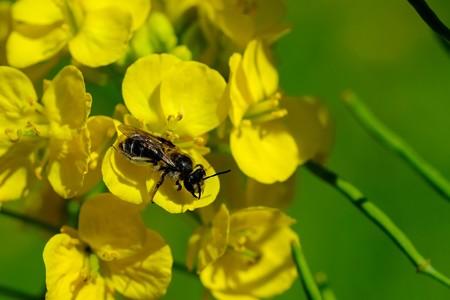 2019.04.01 追分市民の森 菜の花にハナバチ