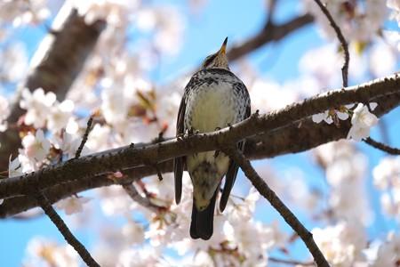 2019.04.02 和泉川 桜にツグミ