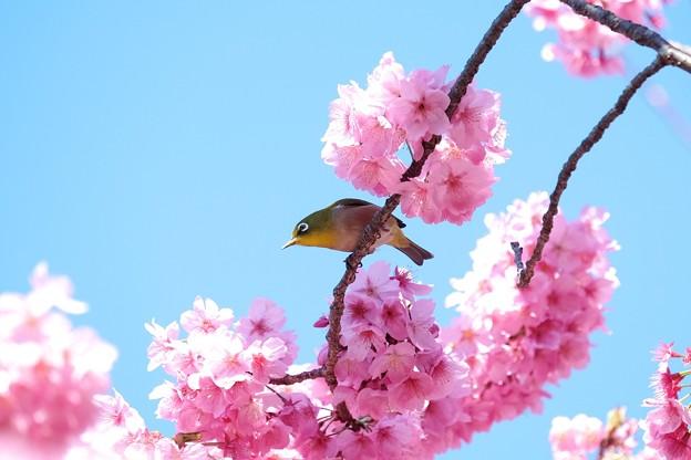 2019.04.02 和泉川 桜にメジロ