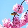 Photos: 2019.04.02 和泉川 桜にメジロ