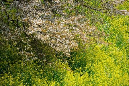 2019.04.04 千鳥ヶ淵 さくらと菜の花