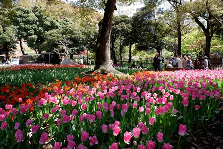 2019.04.09 横浜公園 チューリップ 咲き揃う