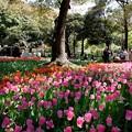 Photos: 2019.04.09 横浜公園 チューリップ 咲き揃う