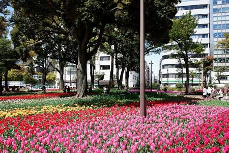 2019.04.09 横浜公園 チューリップ