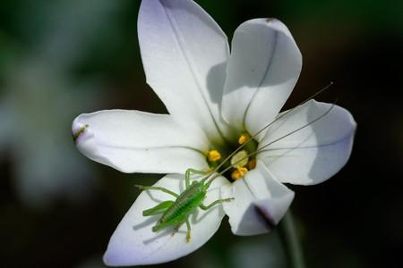 2019.04.18 追分市民の森 開き始めた花韮にヤブキり