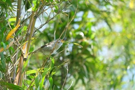 2019.05.07 和泉川 竹にウグイス 幼鳥