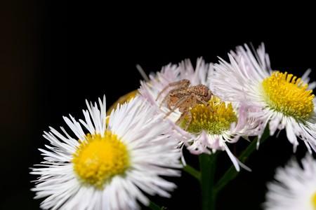 2019.05.08 追分市民の森 ハルジオンに小さな蜘蛛