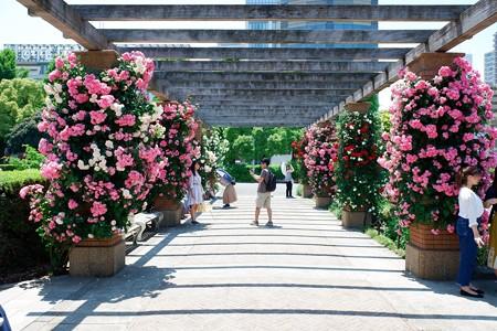 2019.05.24 山下公園 薔薇