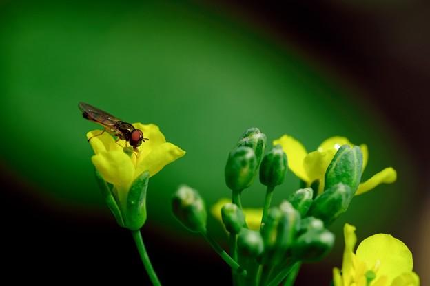 2019.05.29 追分市民の森 菜の花にヒラタアブ