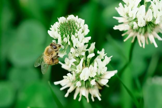 2019.06.03 和泉川 シロツメクサにミツバチ