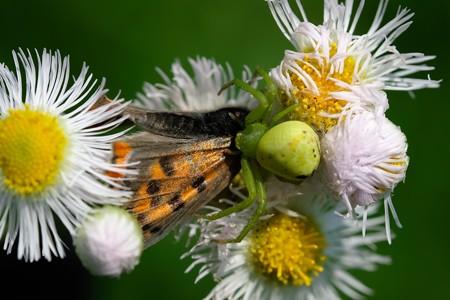 2019.06.06 追分市民の森 ハルジオンでハナグモ 紅小灰蝶を狩る
