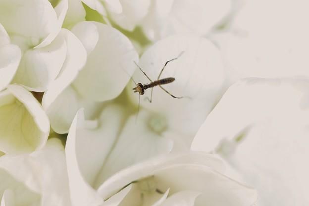 2019.06.17 隣町への道すがら 垣根の白い紫陽花に