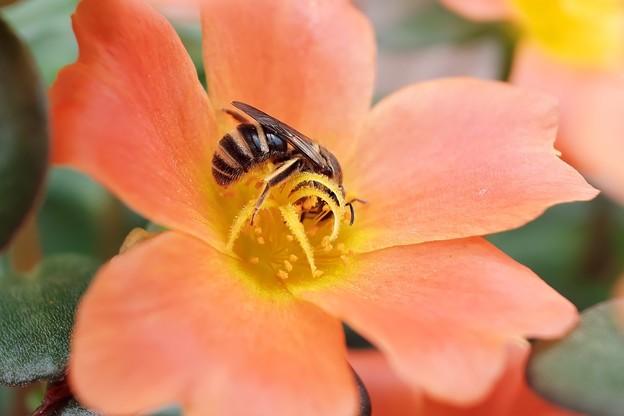 2019.07.29 商店街 花壇の花にミツバチ
