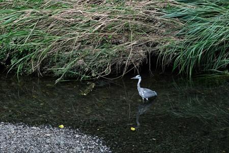 2019.09.06 和泉川 ゲリラ豪雨 蒼鷺