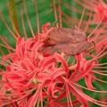Photos: 2019.09.27 追分市民の森 彼岸花にオオクモヘリカメムシ 桜の下