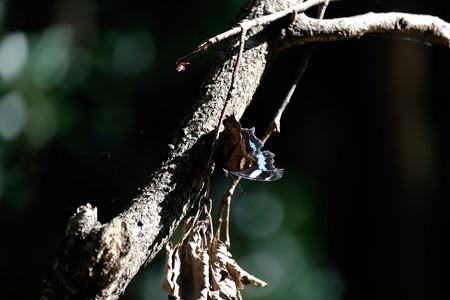 2019.11.05 瀬谷市民の森 枯れ木にルリタテハ