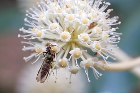 2019.11.14 瀬谷市民の森 八手でホソヒラタアブを捕獲したカニグモ