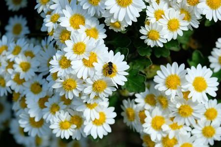 2019.11.15 和泉川 菊科の白い花
