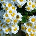 Photos: 2019.11.15 和泉川 菊科の白い花