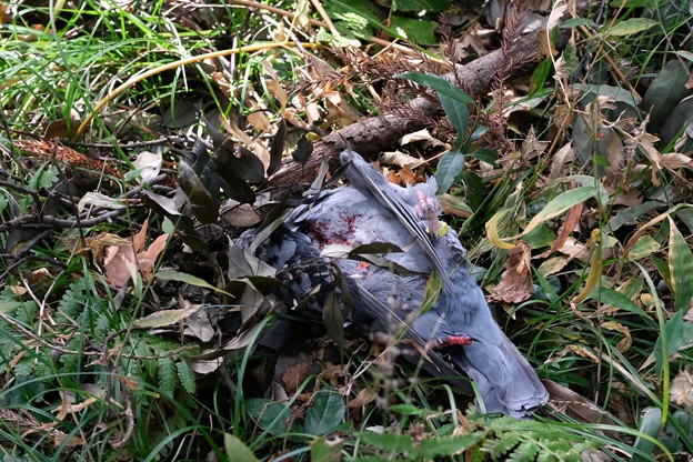 2019.11.17 瀬谷市民の森 目の前に墜ちた鳩