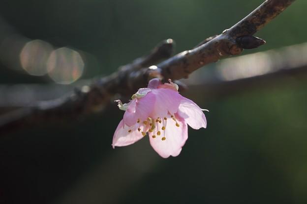 2019.11.19 和泉川 河津桜