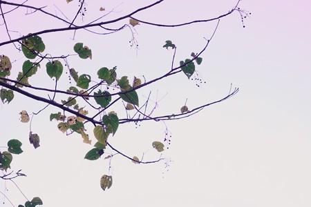 2019.11.30 和泉川 実の生る木