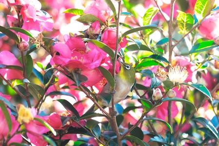 2020.01.19 和泉川 山茶花でメジロ