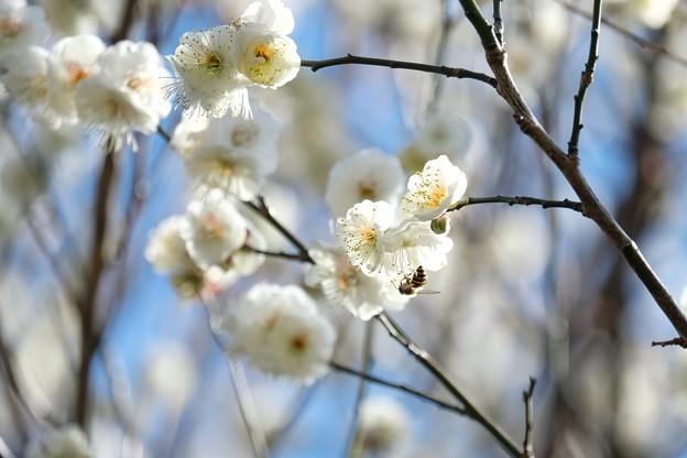 2020.01.30 和泉川 梅にミツバチ