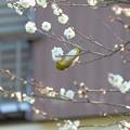 Photos: 2020.01.30 和泉川 梅にメジロ