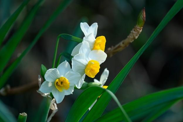 2020.02.08 和泉川 水仙の奥に紫陽花の葉芽