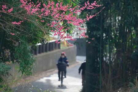 2020.02.12 和泉川 紅梅の咲く坂道