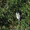 Photos: 2020.02.19 和泉川 竹林でゴイサギ
